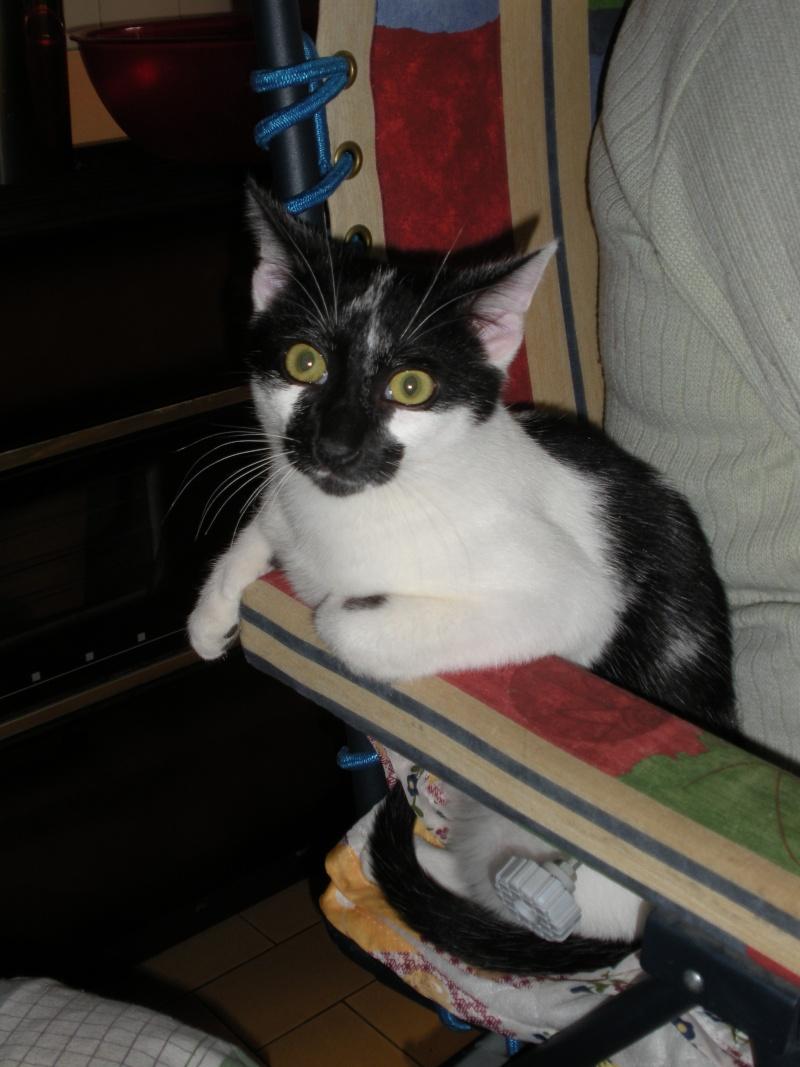 DALMAT un chat plein de vie à l'adoption. 003_210