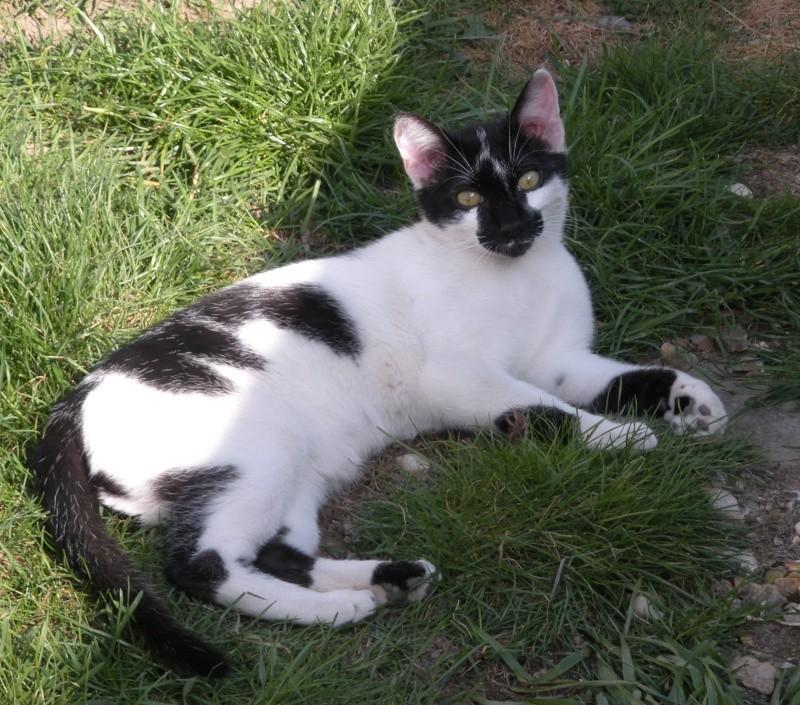 DALMAT un chat plein de vie à l'adoption. 009_211