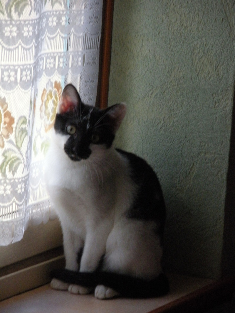 DALMAT un chat plein de vie à l'adoption. Chalon11