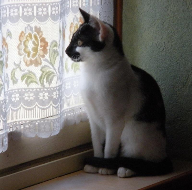 DALMAT un chat plein de vie à l'adoption. Chalon12