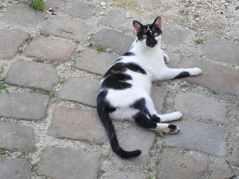 DALMAT un chat plein de vie à l'adoption. P1010021