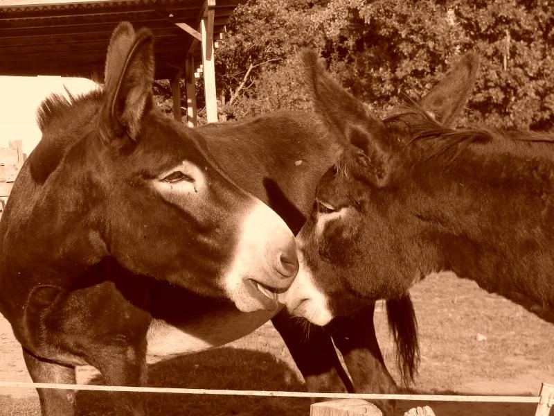 Mes ânes, de la bonne compagnie ! Dscn2410