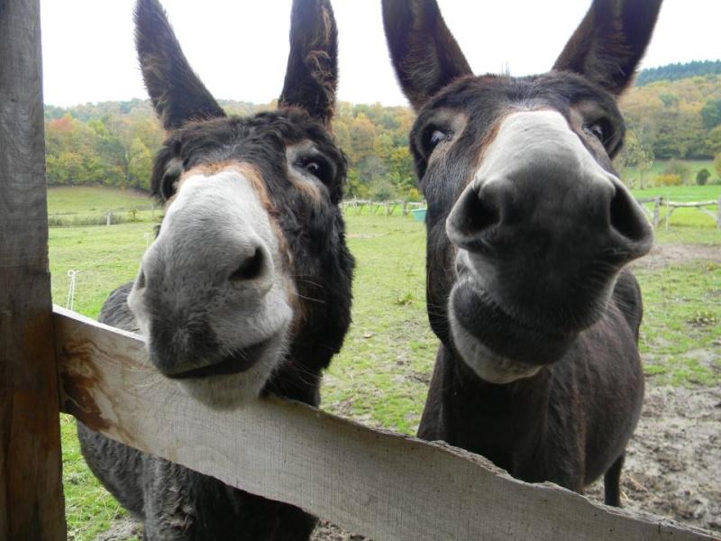 Mes ânes, de la bonne compagnie ! Ezels10
