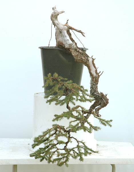First steps to a spruce cascade Fichte10
