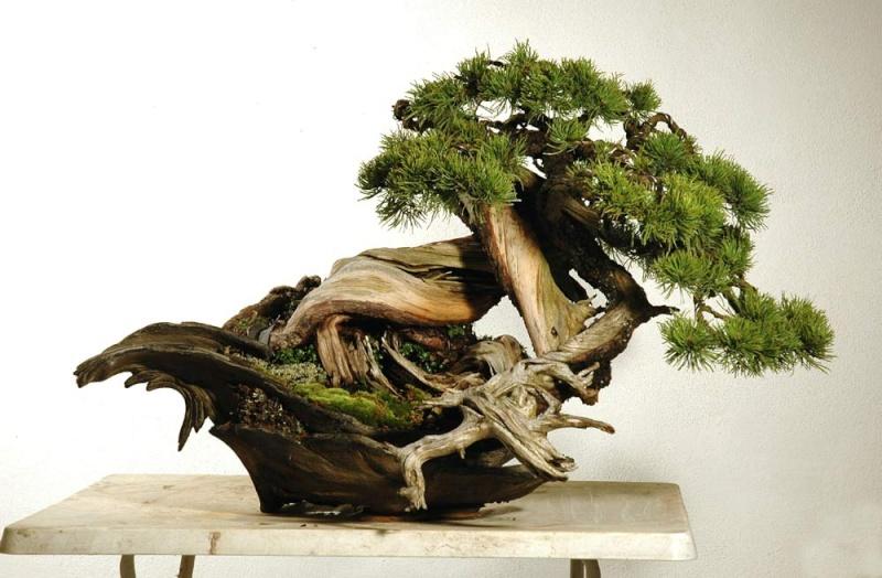 Styling of a mugo pine - Page 2 Mugo2-10