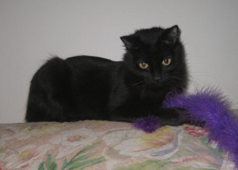Perdue chatte noire allée de Langres à Colomiers Helice10