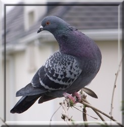 SOINS  ET NOURRITURE A DONNER AUX PIGEONNEAUX ET PIGEONS RESCAPES  Pigeon10