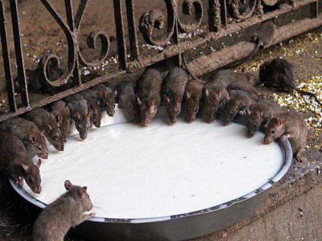Les rats libres des rues  Rats_i10