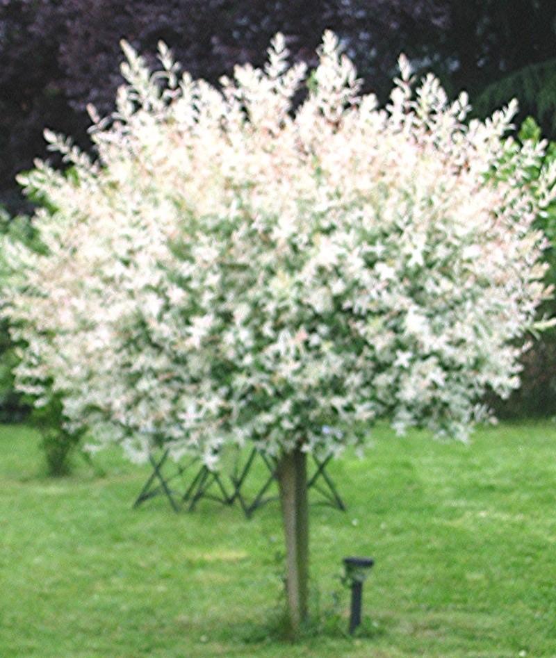 Mon jardin de fées (Chez Anne-Cécile) au fils du temps... Salix10