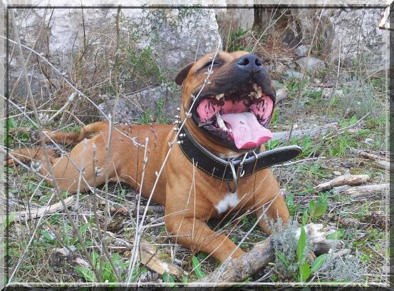 Hélyos, mon Staffordshire Bull-Terrier 2012-020