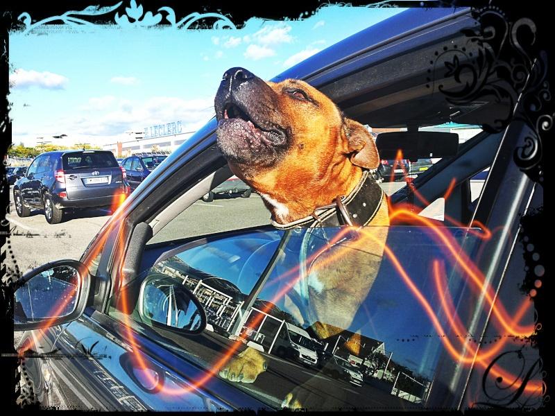 Hélyos, mon Staffordshire Bull-Terrier 20121116