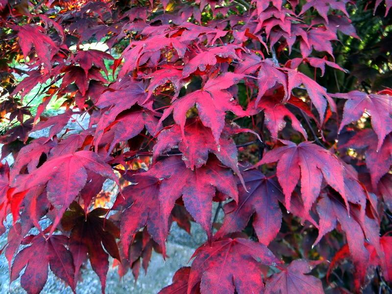 Les feuillages d'automne 26_oct13