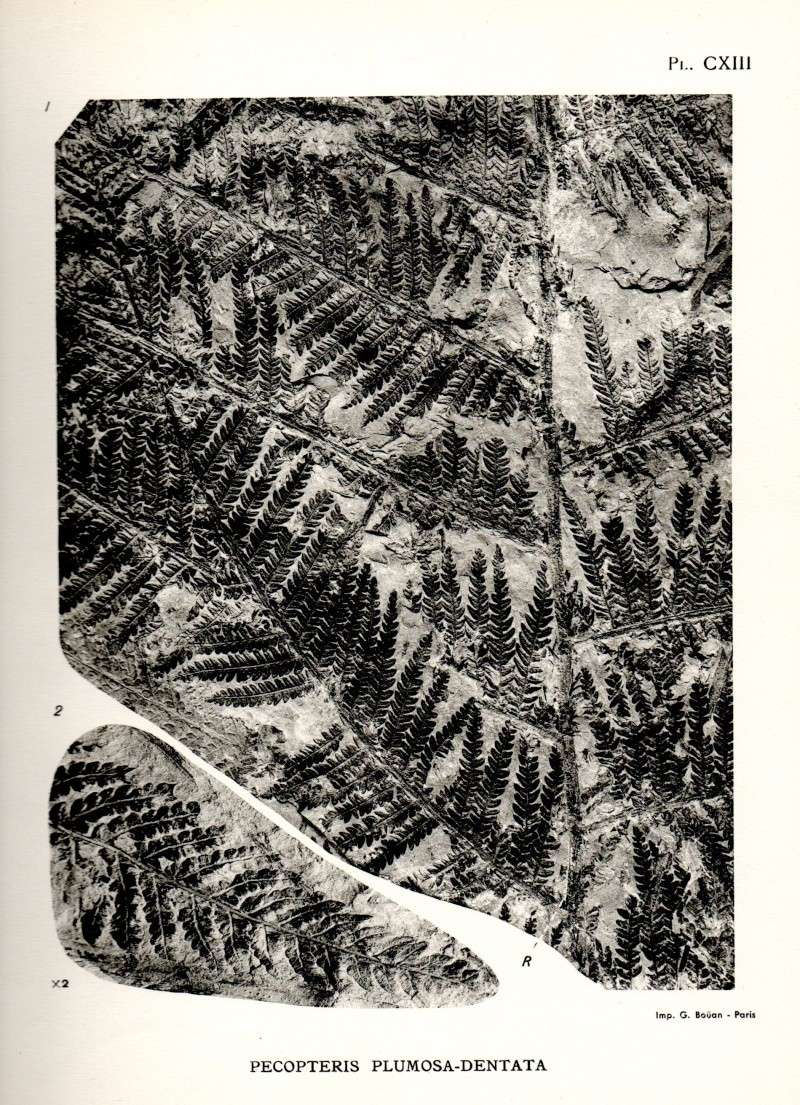 Pecopteris (Brongniart ) , Sternberg 1825. - Page 2 Carte010