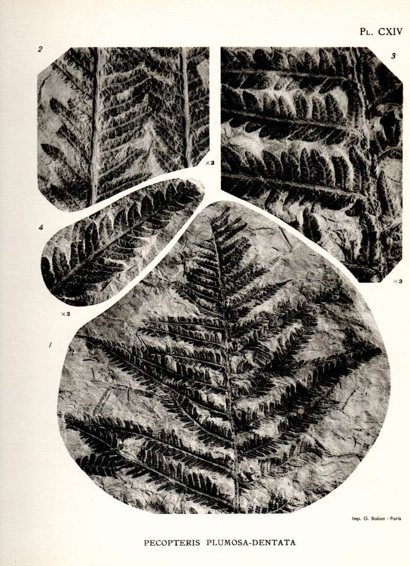 Pecopteris (Brongniart ) , Sternberg 1825. - Page 2 Carte011