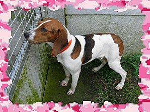 URGENCE : GALLIA femelle croisée beagle (RAPL - 29)  Gallia11
