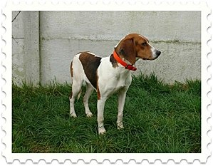URGENCE : GALLIA femelle croisée beagle (RAPL - 29)  Gallia12