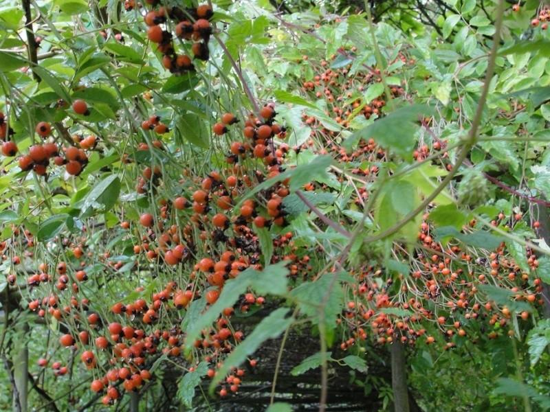 Rosiers dignes d'avant-plan Fruits13