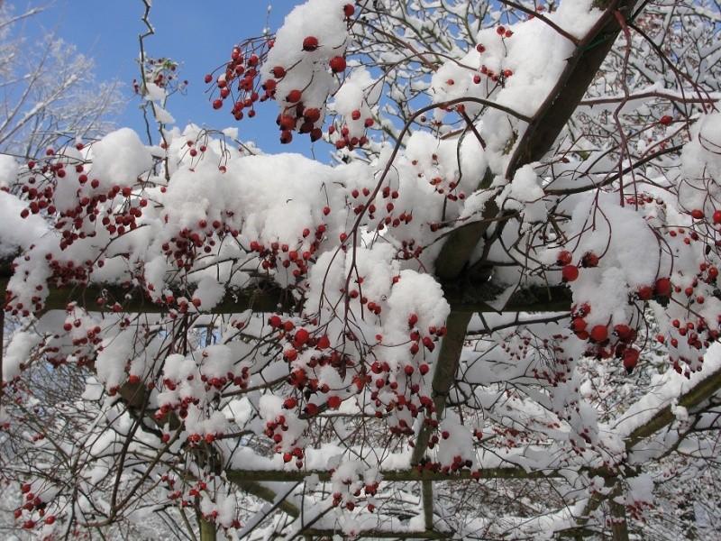 Rosiers dignes d'avant-plan Fruits14