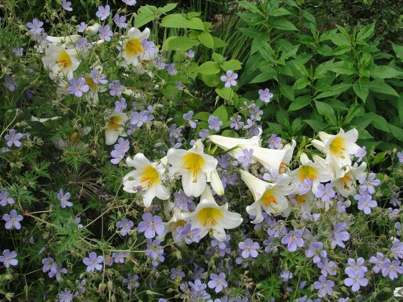 Geraniums bleus Lys_et10