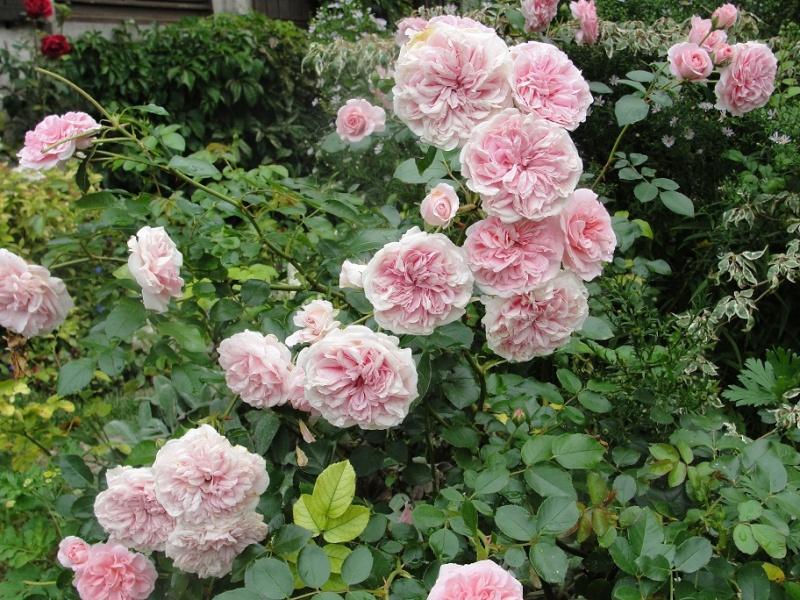 Rosiers dignes d'avant-plan Rosa_t15