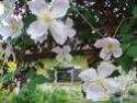 Clématites dans les arbustes Clem_m10