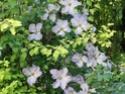 Clématites dans les arbustes Clem_v12