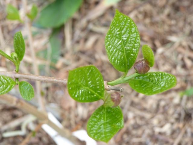 Calycanthus floridus - arbre aux anémones Bouton10