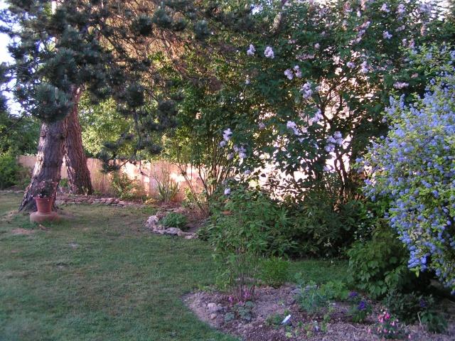 Calycanthus floridus - arbre aux anémones Craati10