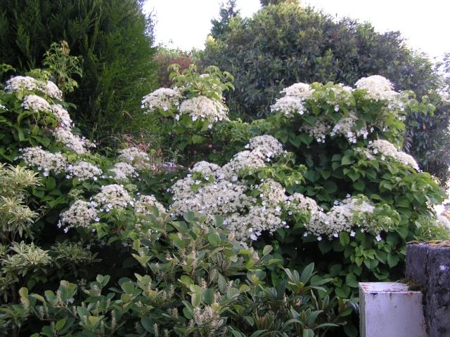 Hydrangea   Hortensia des jardins - Page 4 Ensemb12