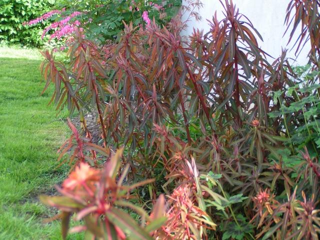Euphorbia griffithii Euphor13