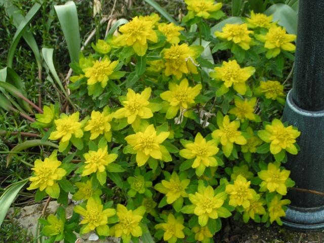Euphorbia griffithii Euphor14