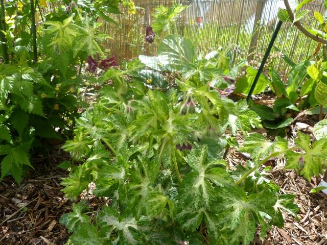 pour les amoureux des géraniums vivaces Garani29