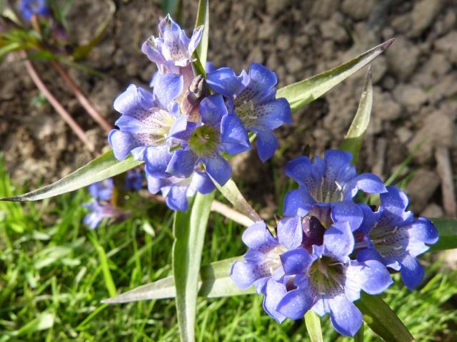 Fleur bleue - gentiana gracilipes Gentia14