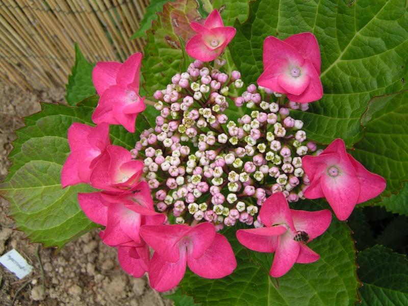 Hydrangea   Hortensia des jardins - Page 4 Hydang10