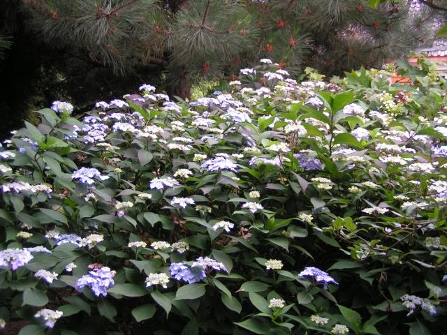 Hydrangea   Hortensia des jardins - Page 5 Hydran15
