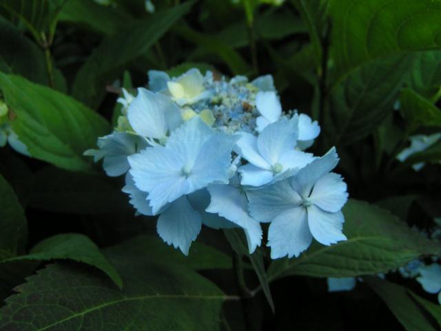 Hydrangea   Hortensia des jardins - Page 5 Hydran16