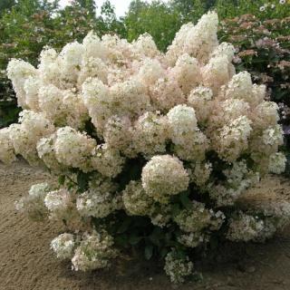 "Hydrangea paniculata ""bobo"" Hydran17"