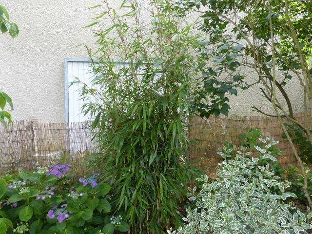 Le Bambou envahissant!! - Page 2 P1010523