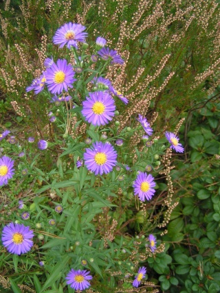 Asters !!! - Page 2 Pict0829