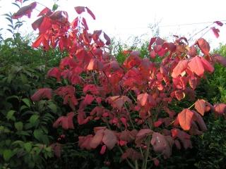 Feuillages d'automne - Page 2 Pict0837