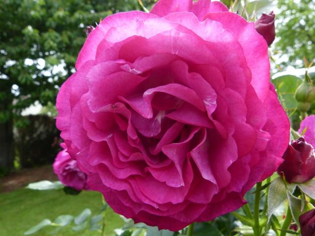 Blue Eden Rose_b10