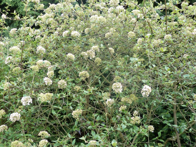 Viburnum, un arbuste formidable ! - Page 3 Viburn14