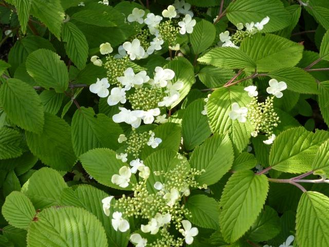 Viburnum, un arbuste formidable ! - Page 3 Viburn17