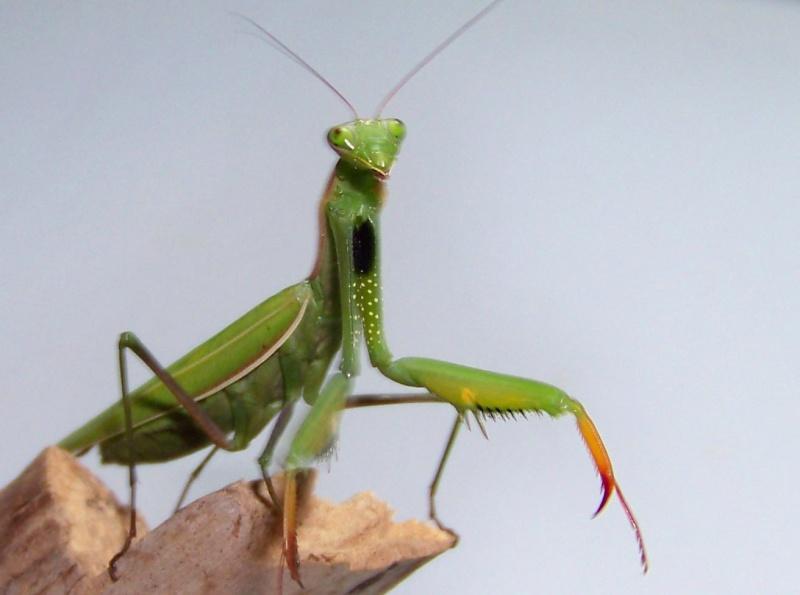 Mantes religieuses (Mantis religiosa) 100e8216