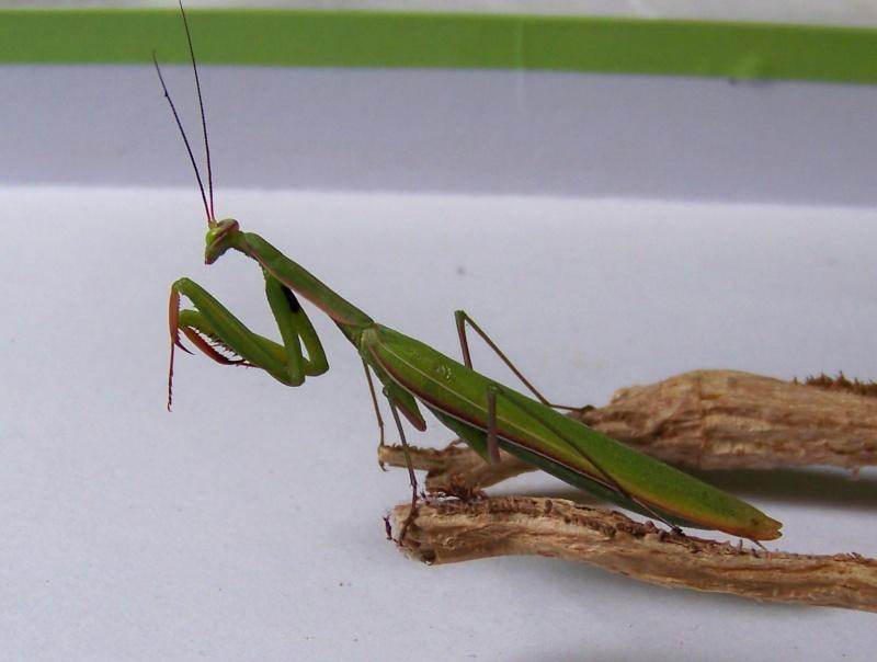 Mantes religieuses (Mantis religiosa) 100e8218