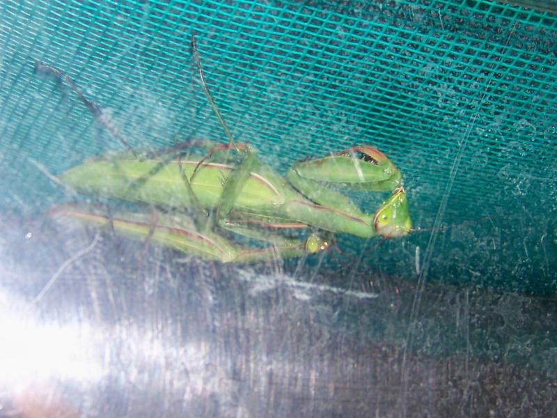 Mantes religieuses (Mantis religiosa) 100e8220