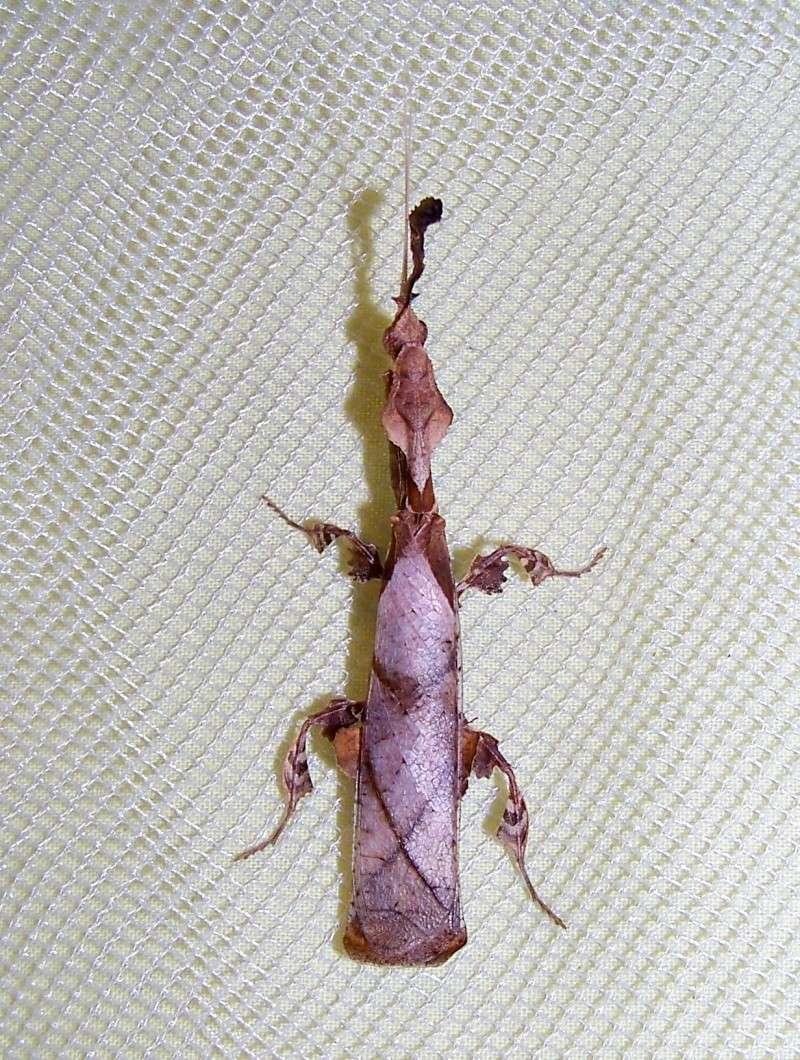 Phyllocrania paradoxa 100e9011