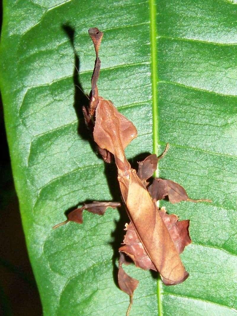 Phyllocrania paradoxa 100e9112