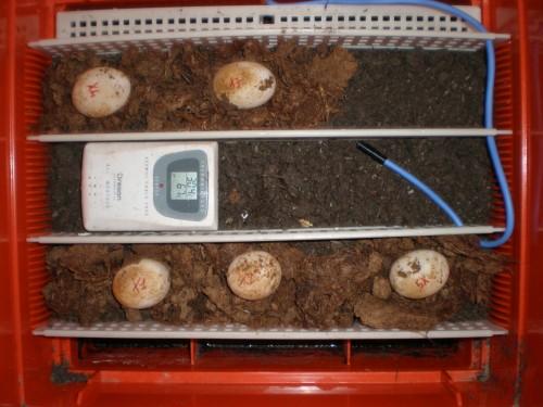 Incubazione uova tartaruga P6060310