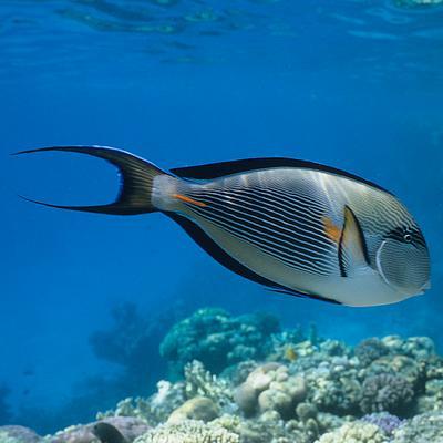 Quel poisson rêvez-vous de possèder? Chirur10